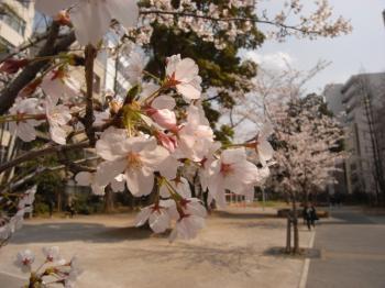 sakura_R0010343.jpg